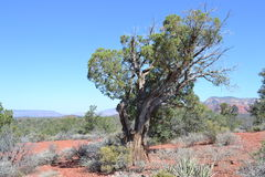 Dry gnarled tree in the desert against red rocks,  Stock Photography
