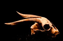 Dry Goat Skull with Big stock photos