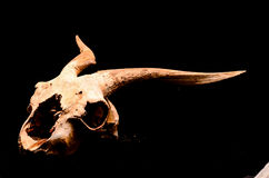 Dry Goat Skull with Big Royalty Free Stock Photography