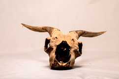 Dry Goat Skull with Big Stock Photography