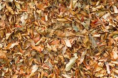 Dry golden brown leaves on forest floor.  Stock Image