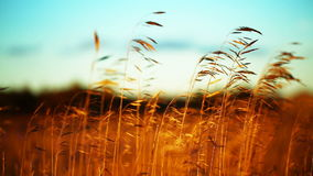 Dry golden field close up stock video footage