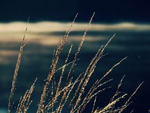 Free Dry Golden Grass Stalks. Autumn Nature Theme Stock Image - 143141901