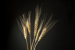 Dry golden wheat isolated on a black background stock photo