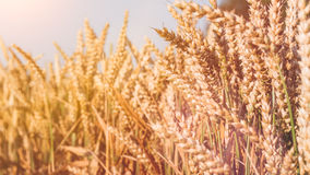 Dry golden wheat spikes on sunny day ready for harvest Royalty Free Stock Images