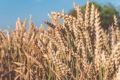 Dry golden wheat spikes on sunny day ready for harvest Royalty Free Stock Photos