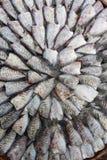 Dry gourami fish Royalty Free Stock Images