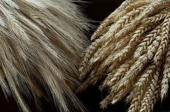 Dry grain cobs. Two different types of grain Stock Images