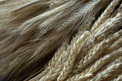 Dry grain cobs. Two different types of grain Royalty Free Stock Image