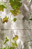 Dry grapes leaves on dirty concrete wall stock image