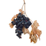 Dry grapes Stock Photography