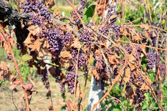 Dry grapes in vineyard Royalty Free Stock Images