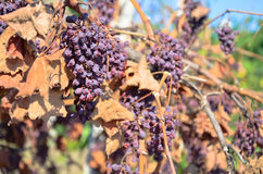 Dry grapes in vineyard Royalty Free Stock Photo