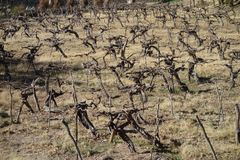 Dry grapevines field - RN40 / national road 40 stock image