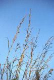 Dry grass. Against a blue sky royalty free stock image