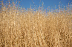 Dry grass. Long dry grass with a clear blue sky in the background Royalty Free Stock Photos
