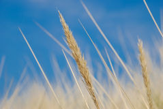 Dry grass. A picture of dry grass found beside the ocean Stock Photo