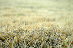 Dry grass. In dry season Stock Photography