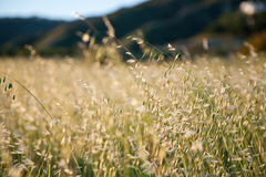 Dry grass. Dry yellow grass, selective focus Stock Photo