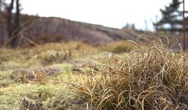 Dry Grass. Tuft of dry grass on mossy rock Royalty Free Stock Photos