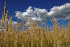 Dry grass against a blue sky with clouds Stock Photos
