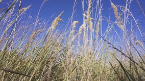 Dry grass against the blue sky.  stock footage