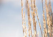 Dry grass against sky. In sunlight Royalty Free Stock Image