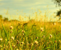 Dry grass against sky Royalty Free Stock Images