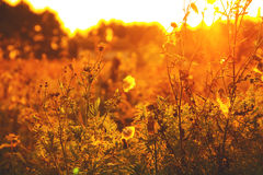 Dry grass against a summer sunset. It is toned Stock Image
