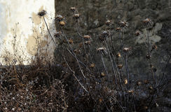 Dry grass against the wall Royalty Free Stock Photo