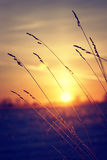 Dry grass against winter sunrise Royalty Free Stock Image