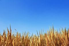 Dry grass background Stock Photography