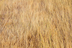Dry Grass Background Texture Stock Photography