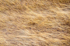 Dry Grass Background Texture Royalty Free Stock Images
