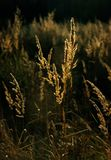 Dry grass with backlighting. Illustrations,summer landscape stock photo