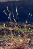 Dry grass  in backlit Royalty Free Stock Images