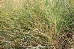 Dry grass on a beach. Grass vegetation on a very edge of sandy beach. Catlins, South Island, New Zealand royalty free stock photo