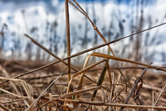 Dry grass. The dry grass at the beginning of spring will be replaced by green branches soon Stock Image