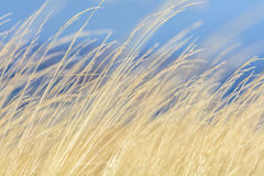 Dry grass with blue sky behind. Dry grass yellow background with. Blue sky behind on autumnal mountain stock photo