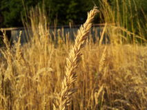 Dry grass. Close up view of dry grass, outbuilding in the background Royalty Free Stock Image
