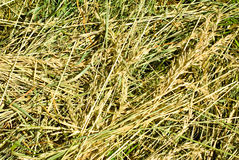Dry grass closeup Royalty Free Stock Images