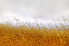 Dry Grass with Cloudy Sky Royalty Free Stock Photography