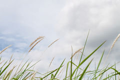 Dry grass and cloudy sky Royalty Free Stock Photo