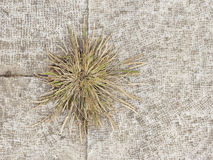 Dry grass. On colorful wall Royalty Free Stock Image