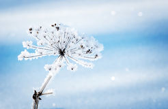 Dry grass covered with fragile hoarfrost in winter day Stock Photography