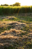 Dry grass cuttings Stock Photography