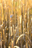 Dry grass cuttings in the field with butterfly Royalty Free Stock Photos