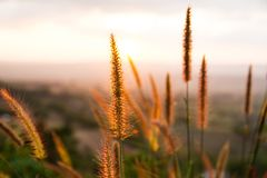 Dry grass. At sunset background Royalty Free Stock Photo