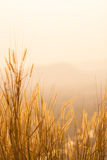 Dry grass field Royalty Free Stock Photography