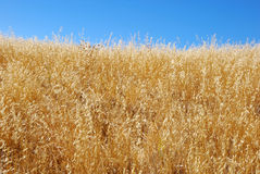 Dry Grass Field Against Blue Sky. Dry grass field shown against blue sky Royalty Free Stock Images